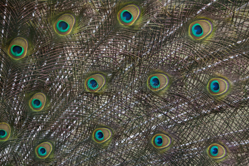 Plumage of the Indian peafowl (Pavo cristatus). royalty free stock image