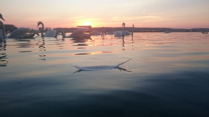 Plumage in the river. Swan plumage and Sunrise on Danube river royalty free stock photos