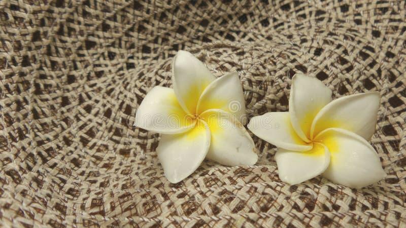 Plumaria auf Nettohintergrund lizenzfreie stockbilder