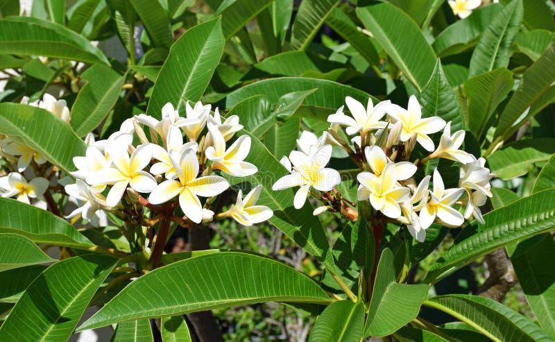 Plumaria-Blume lizenzfreies stockbild