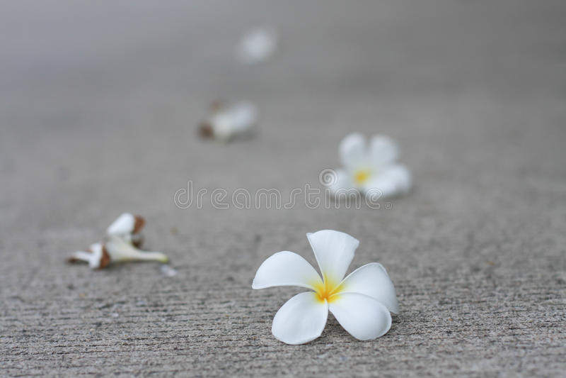 Plumaria-Blumen stockfotos