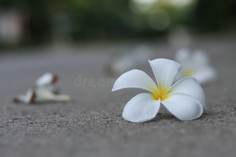 Plumaria-Blumen lizenzfreie stockbilder