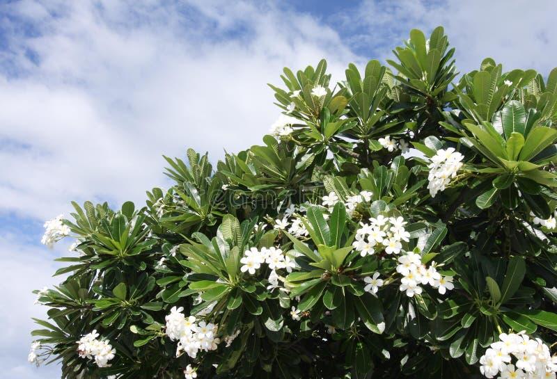 Plumaria-Blumen lizenzfreie stockfotos