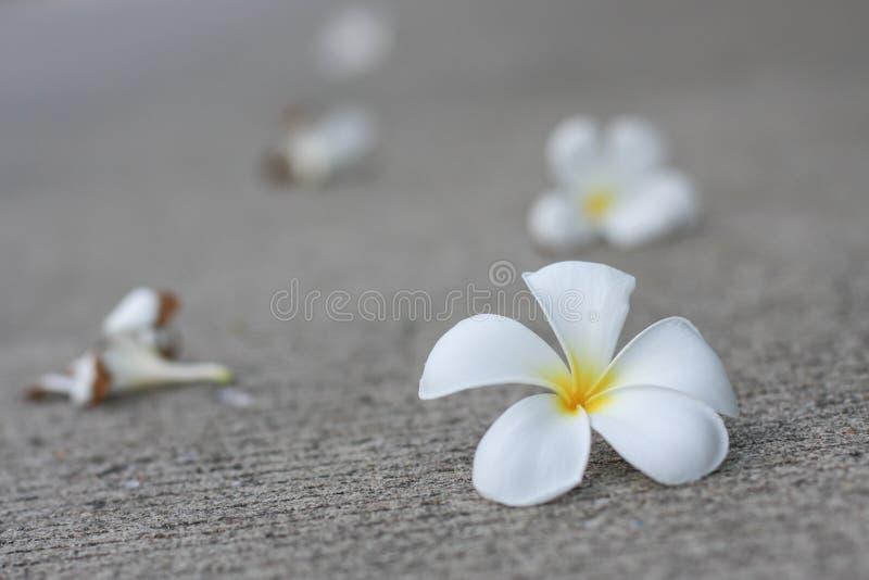 Plumaria-Blumen stockbild