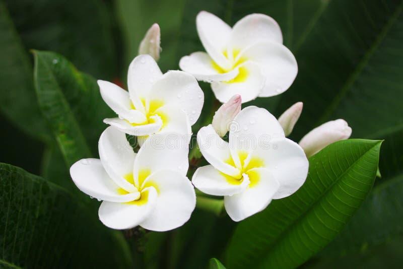 Plumaria-Blumen lizenzfreies stockbild