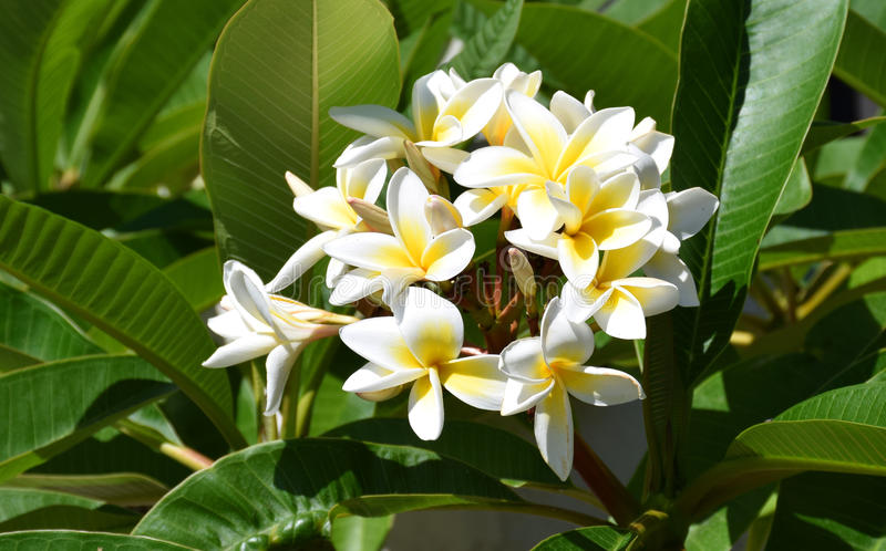 Plumaria flower. Image shows a Plumaria flower cluster. Plumeria is related to the Oleander. Plumeria flowers are most fragrant at night in order to lure sphinx royalty free stock images