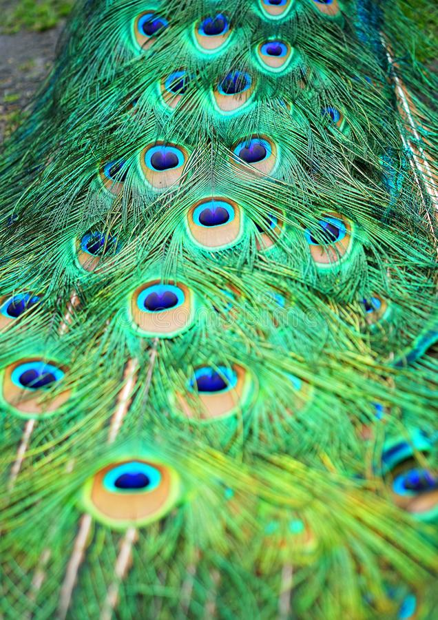 Plumas de cola del pavo real fotos de archivo