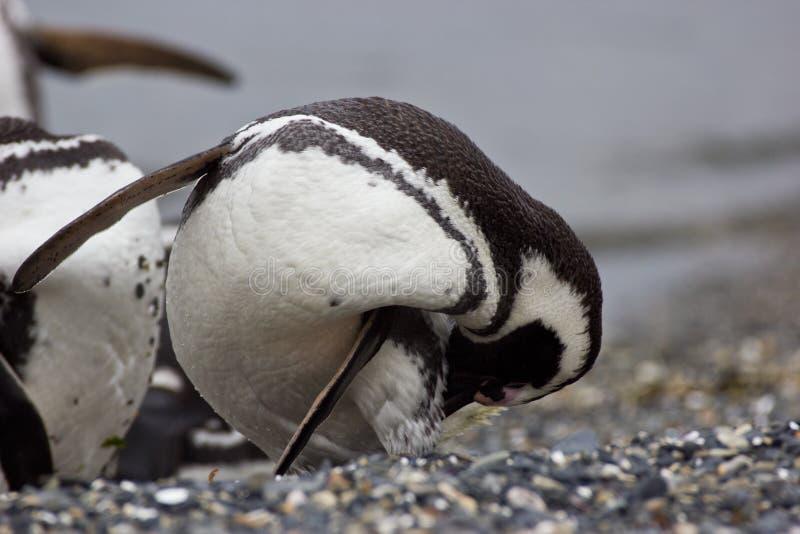 Plumas de la limpieza del pingüino en la playa en la región ártica imágenes de archivo libres de regalías