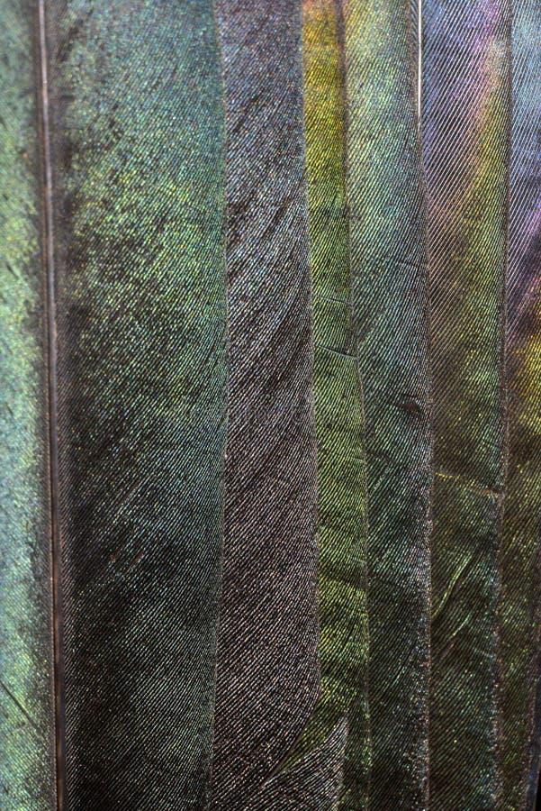 Plumas de la urraca foto de archivo libre de regalías