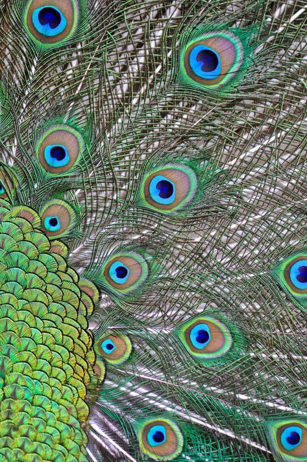 Plumas de un pavo real imagen de archivo libre de regalías
