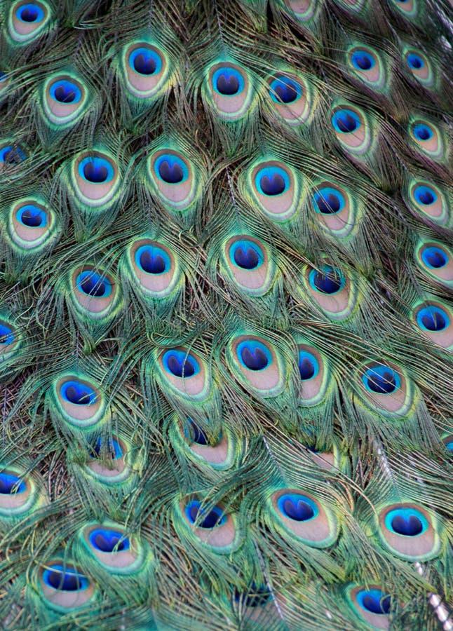 Plumas de un pavo real fotos de archivo libres de regalías
