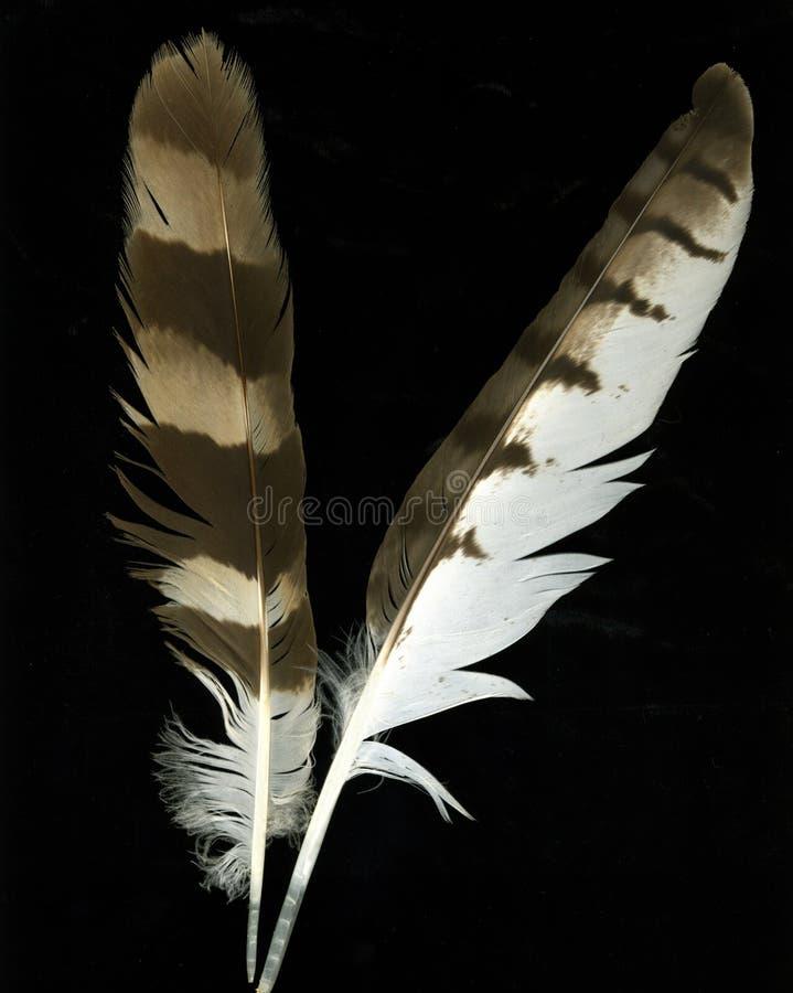 Plumas del ganso foto de archivo