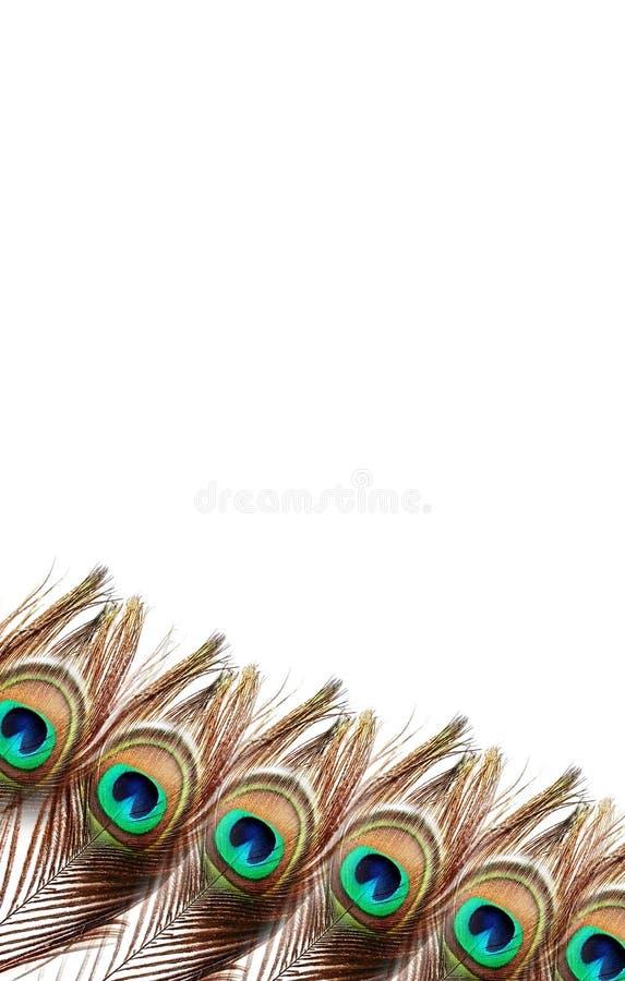 Plumas del pavo real en el fondo blanco imágenes de archivo libres de regalías