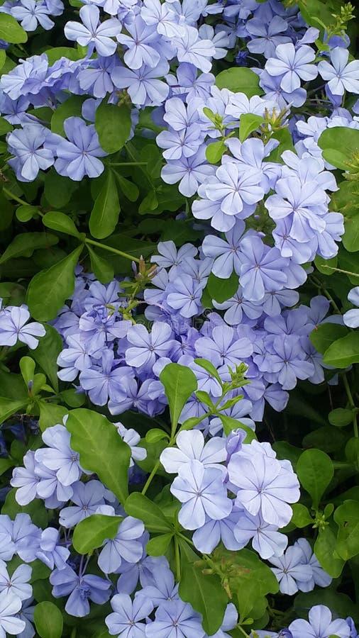 Plumbaginacease blommor royaltyfri bild