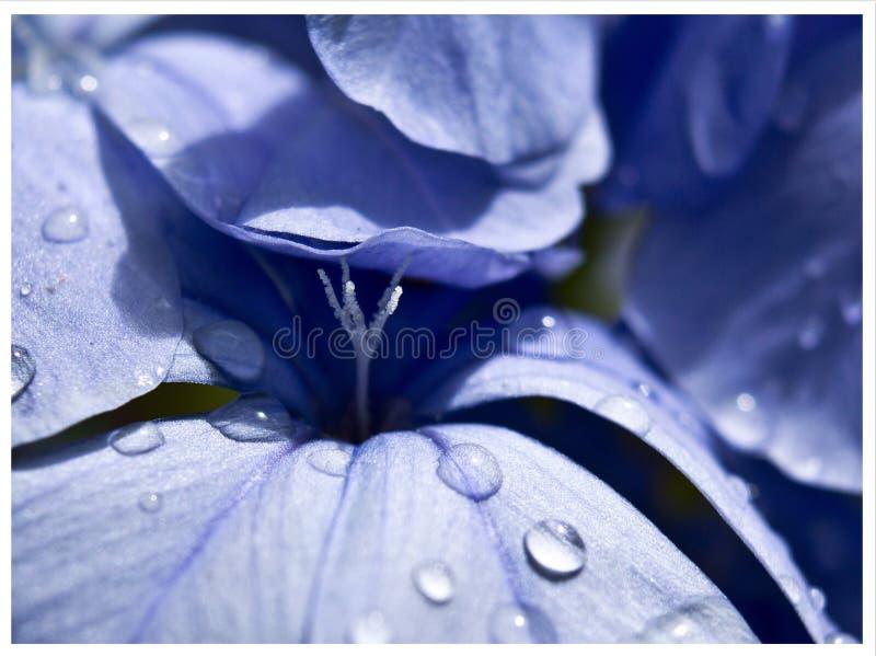 Download Plumbago stock image. Image of water, pretty, macro, plumbago - 29138377
