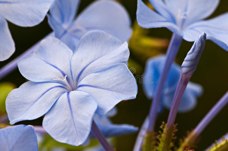 Plumbargo flower blue jasmin. Plumbago capensis auriculata blue jasmin flower stock image