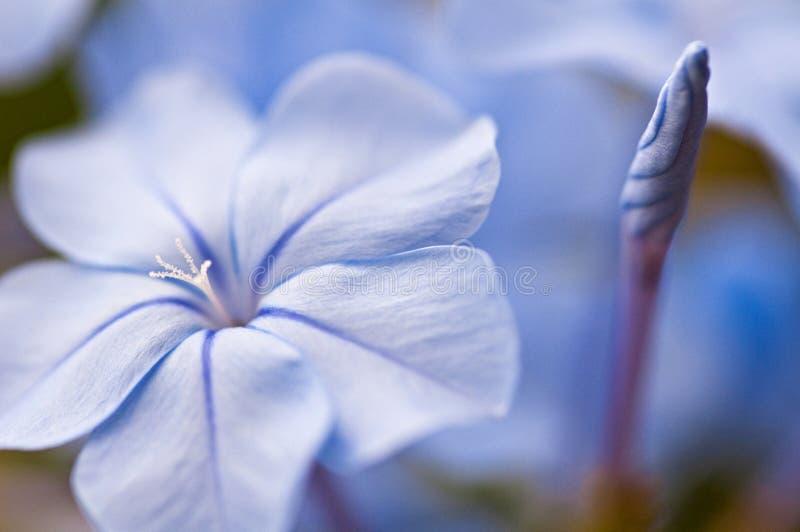 Plumbargo flower blue jasmin. Plumbago capensis auriculata blue jasmin flower stock photo