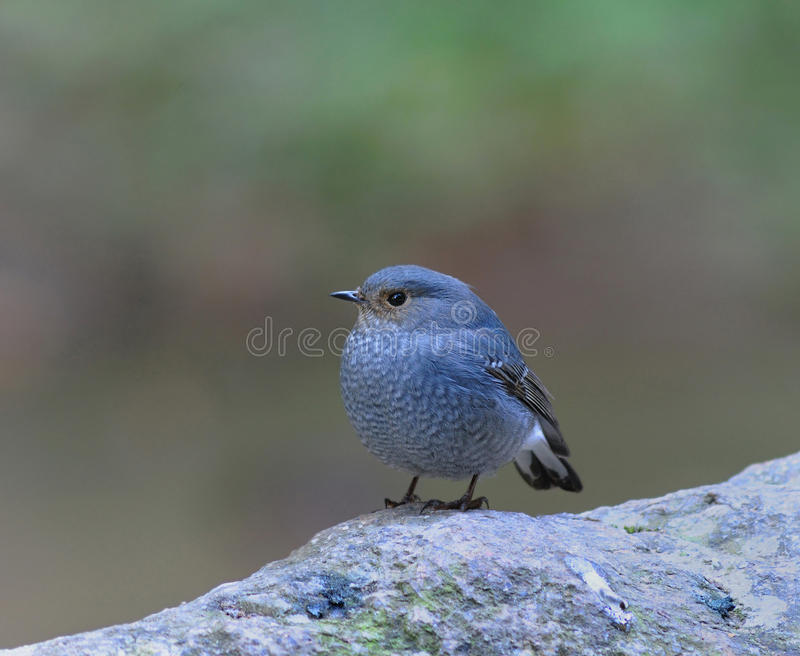 Plumbeous Redstart. Female in thailand stock photography