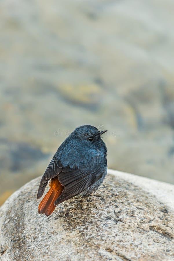 Plumbeous water redstart sitting. The plumbeous water redstart is a passerine bird sitting on a stone stock photo