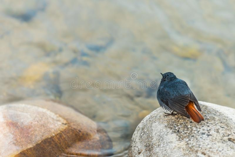 Plumbeous water redstart sitting. The plumbeous water redstart is a passerine bird sitting on a stone stock image