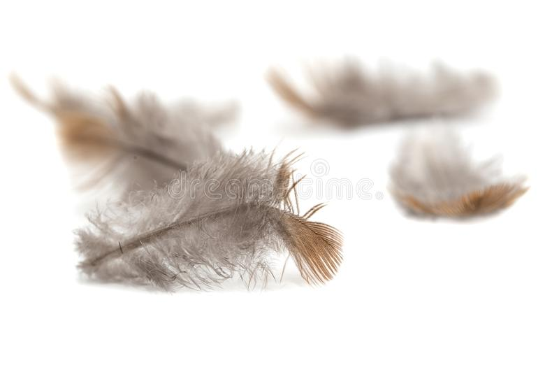 Plume de pigeon sur le fond blanc images stock