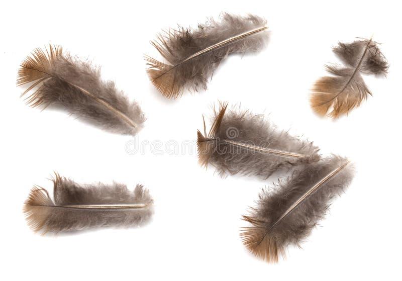 Plume de pigeon sur le fond blanc photos libres de droits