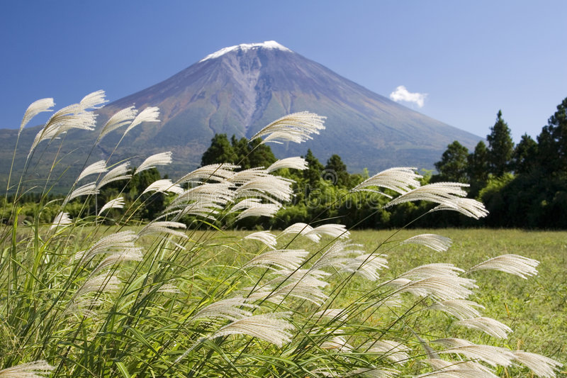 Plume grass. Japanese plume grass swaying in the wind with Mt. Fuji in the background royalty free stock images