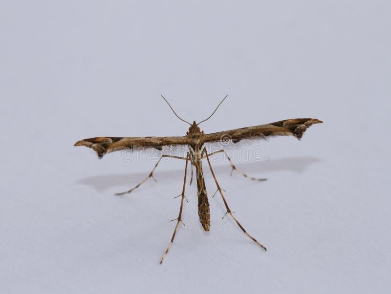 Plume Moth foto de archivo libre de regalías