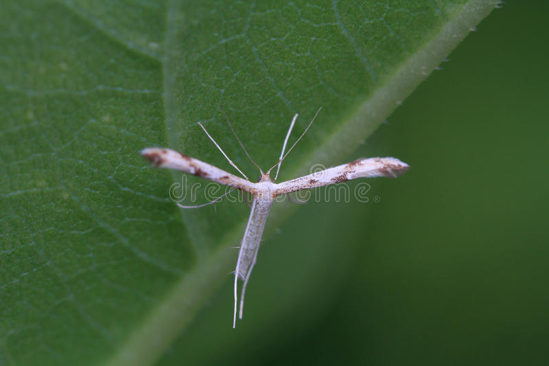 Plume Moth imagenes de archivo
