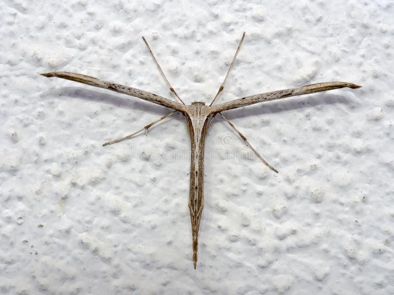 Plume Moth común, monodactyla de Emmelina con las alas rodadas en la pared AkaT-polilla o correhuela imagenes de archivo