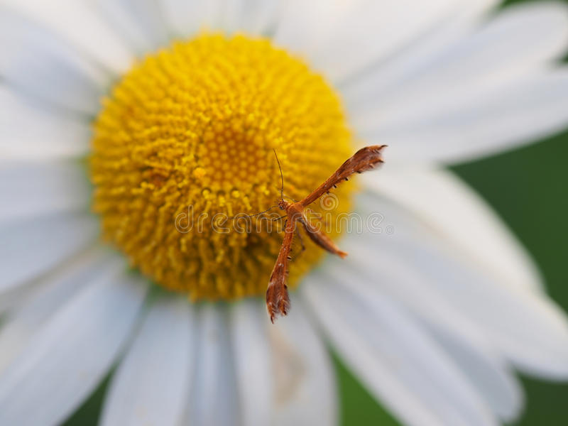 Plume moth on daisy flower. Closeup of a plume moth resting on daisy stock photos