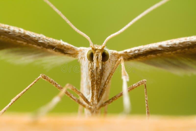 Plume Moth Macro Shot stock afbeeldingen