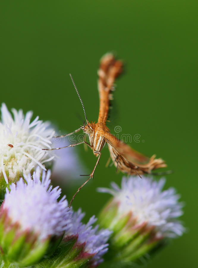 Plume moth on tiny flowers. Closeup of a plume moth resting on tiny flowers stock photo