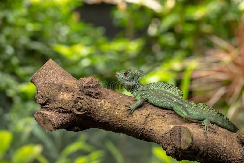 Plumed василиск, plumifrons василиска, также известные как зеленый василиск Мужское животное стоковое фото