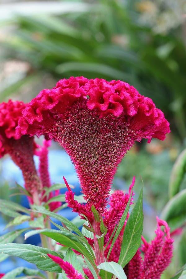 Download Plumed Cockscomb Flower, Closeup Stock Photo - Image: 25207208