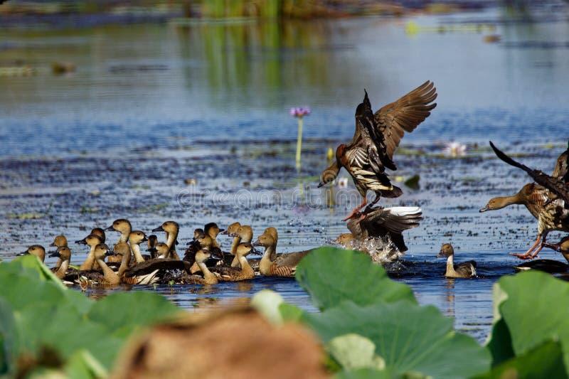 Plumed pfeifendes Duck Coming In To Land stockbild