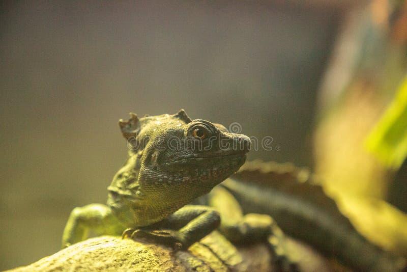 Plumed plumifrons василиска ящерицы василиска стоковые изображения