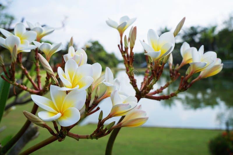Plumeria, árbol del Frangipani con la floración de las flores imagenes de archivo