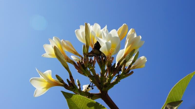 Plumeria ενάντια στον μπλε τροπικό ουρανό στοκ φωτογραφία