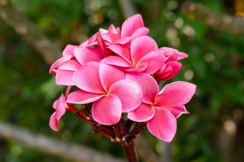 Plumeria, ροζ στοκ φωτογραφία με δικαίωμα ελεύθερης χρήσης
