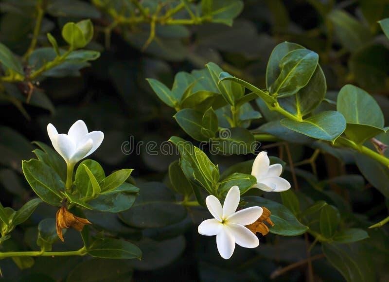Plumeria или Frangipani белых цветков на ветви дерева стоковое фото