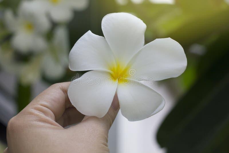 Plumeria или frangipani цветка в руке с предпосылкой зеленого дерева лист и plumeria в настроении лета тропическом стоковое изображение