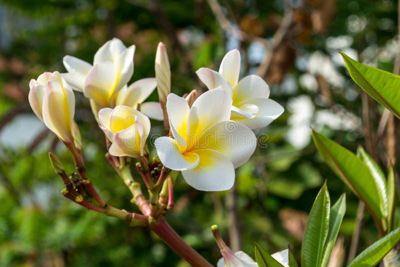 Plumeria красивые цветки стоковые фотографии rf