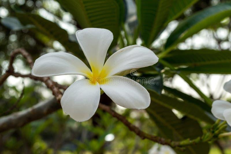 Plumeria красивые цветки стоковое фото