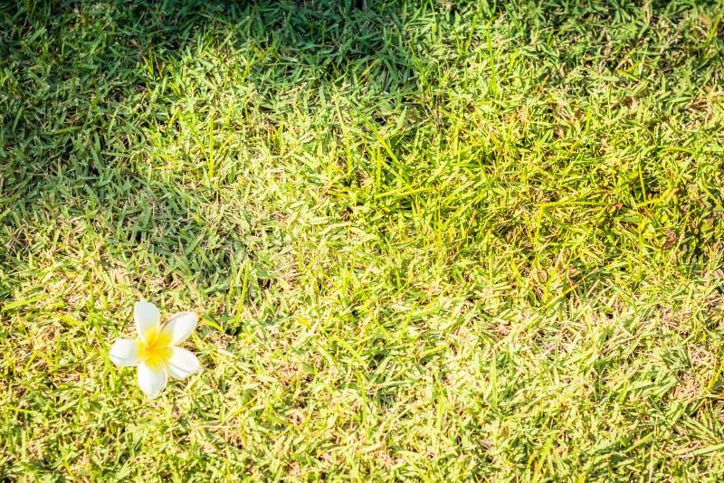 Plumeria на зеленой траве Цветок Plumeria на зеленой траве стоковая фотография