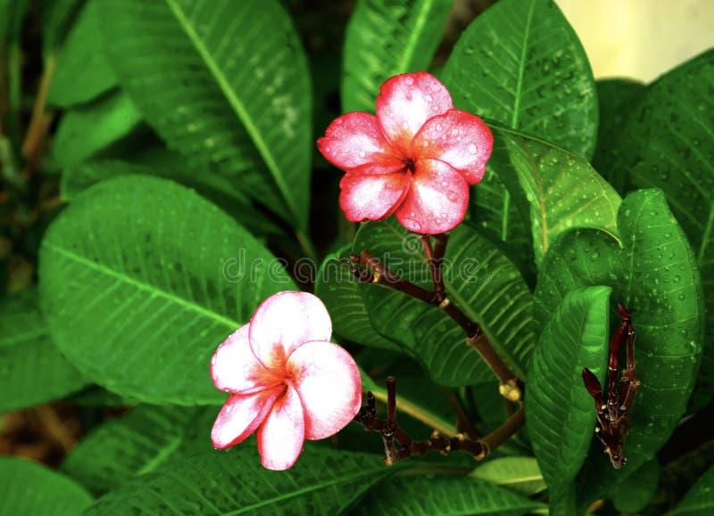 Plumeria, падения воды от дождя, естественно, свежий розовый цветок frangipani с листьями в саде стоковые фото