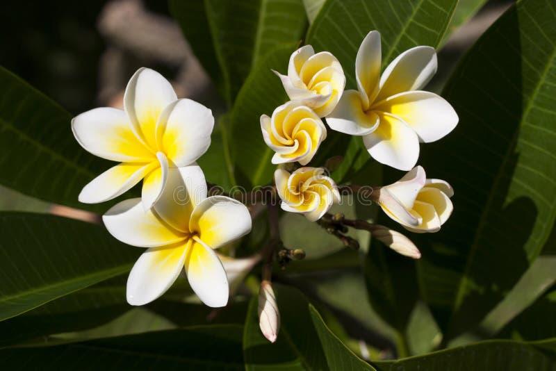 Plumeria цветет фото стоковые изображения