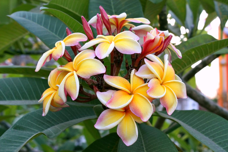 Plumeria. Flower on tree, Thailand royalty free stock photography