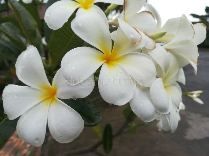 Plumeria arkivfoton