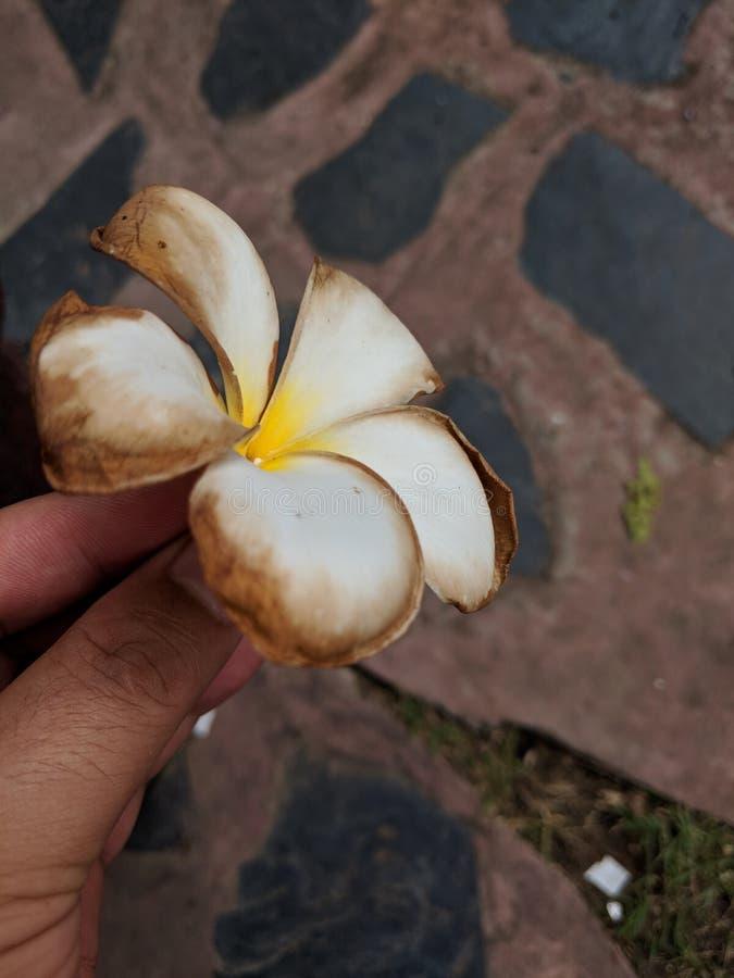Plumeria02 fotografia stock
